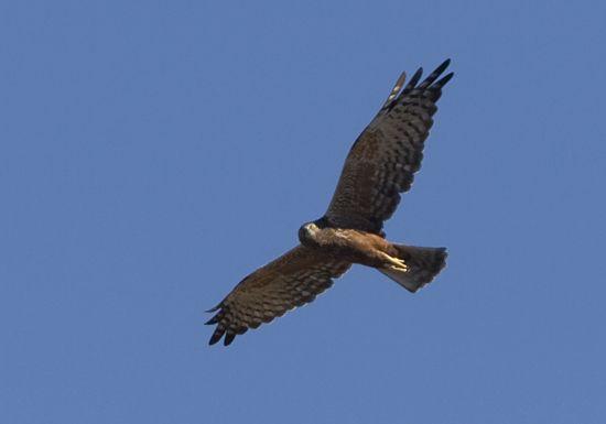 African Marsh Harrier - Trevor Hardaker